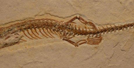 Le zampe posteriori di Tetrapodophis amplectus.(Cortesia Dave Martill:Uiversity of Portsmouth)